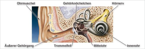 Ohr Anatomie