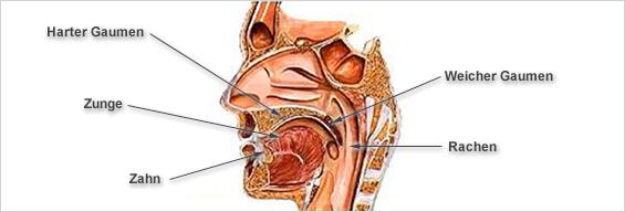 Kehlkopf Aufbau